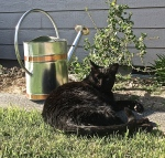 Black cat and watering can in front of gooseberry bush.