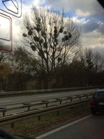Mistletoe in fall, northern Germany.