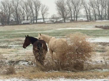 My greeters at the Locati Farm, they are huddling on the highest point of the pasture with our huge tumbleweed for a wind block.