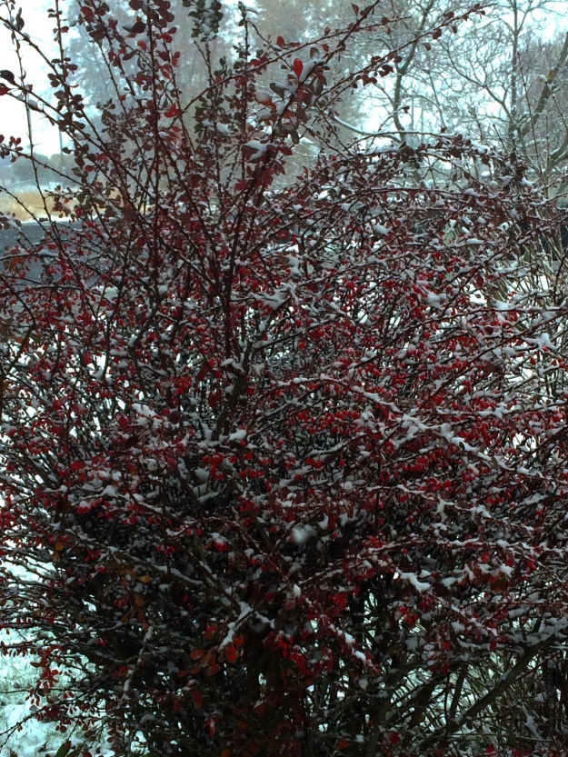 Our barberry bush is festive in a white dusting of snow.