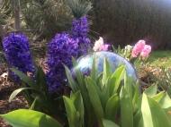 Multicolor hyacinth