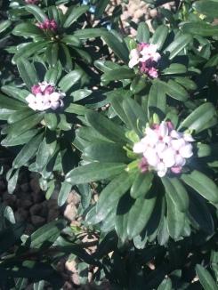 Daphne in bloom.