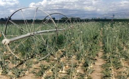 Locati Walla Walla Sweet Onions in the field.