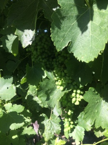 Patina Vineyard Syrah clusters