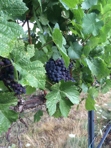 Breezy Slope Vineyard Pinot Noir, clone 115 for Lagana Cellars.