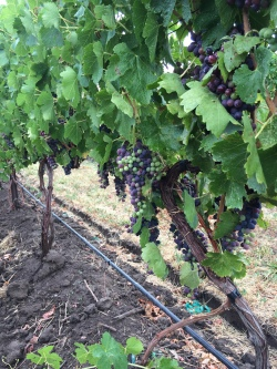 Mission Hills Estate Vineyard Barbera for Locati Cellars.
