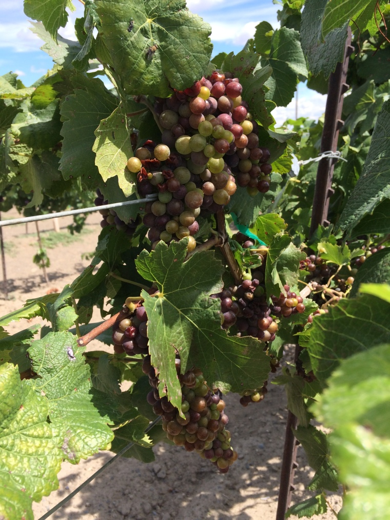 Minnick Hills Vineyard, just northwest of the Walla Walla Airport, Syrah for Lagana Cellars.