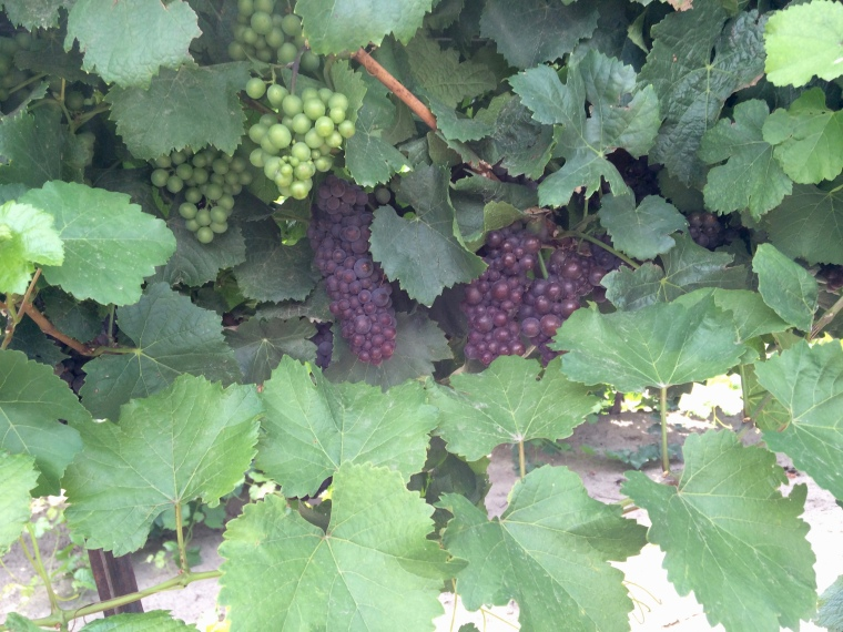Reed Vineyard Pinot Gris for Locati Cellars.