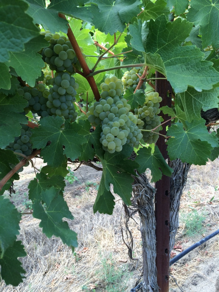 Sagemoor Vineyard Sauvignon Blanc for Lagana Cellars.