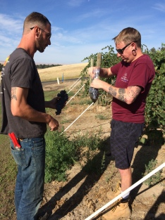 Sangiovese sampling in the vineyard.