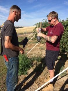 Sangiovese sampling in the vineyard.