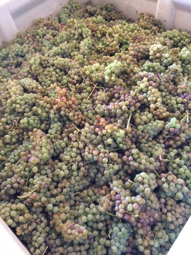 Orange Muscat grapes from Lonesome Springs Vineyard.