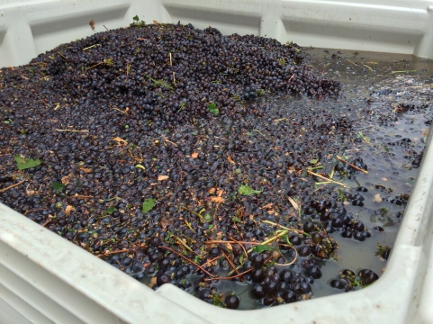 Machine Harvested Pinot Grigio for Locati Cellars.