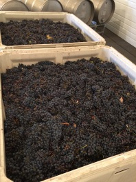 Our ton of Dolcetto from Cockburn Ranch Vineyard came in on Saturday.