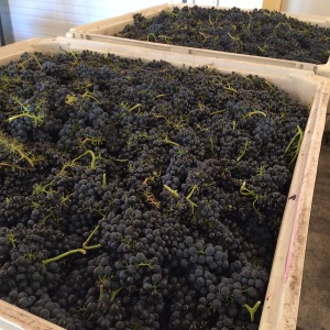 Minnick Hills Syrah is ripe and ready to be made into wine.