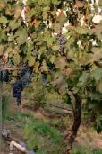 Dayal Estate Syrah grapes.