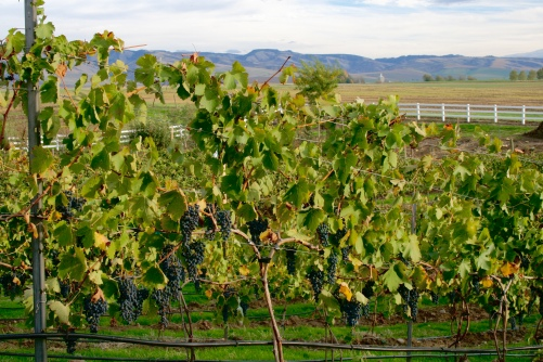 Dayal Estate Vineyard and the Blue Mountains.