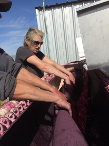 Sunny and warm until the breeze kicked up as we pressed the Minnick Syrah for Lagana Cellars.