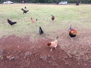 Kauai chickens are wild.