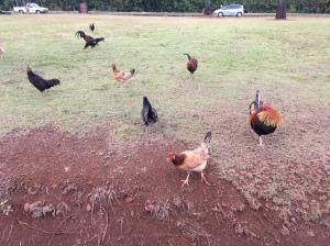 Kauai chickens are wild.